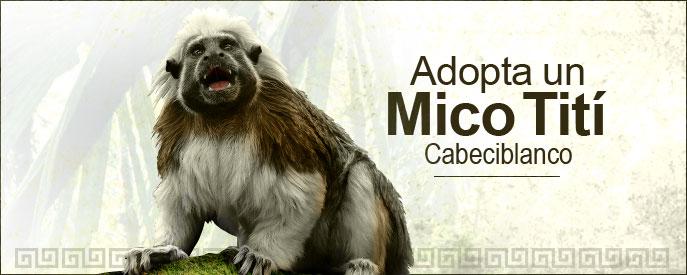 programa-adopta-un-mico-titi-cabeciblanco-fundacion-natura