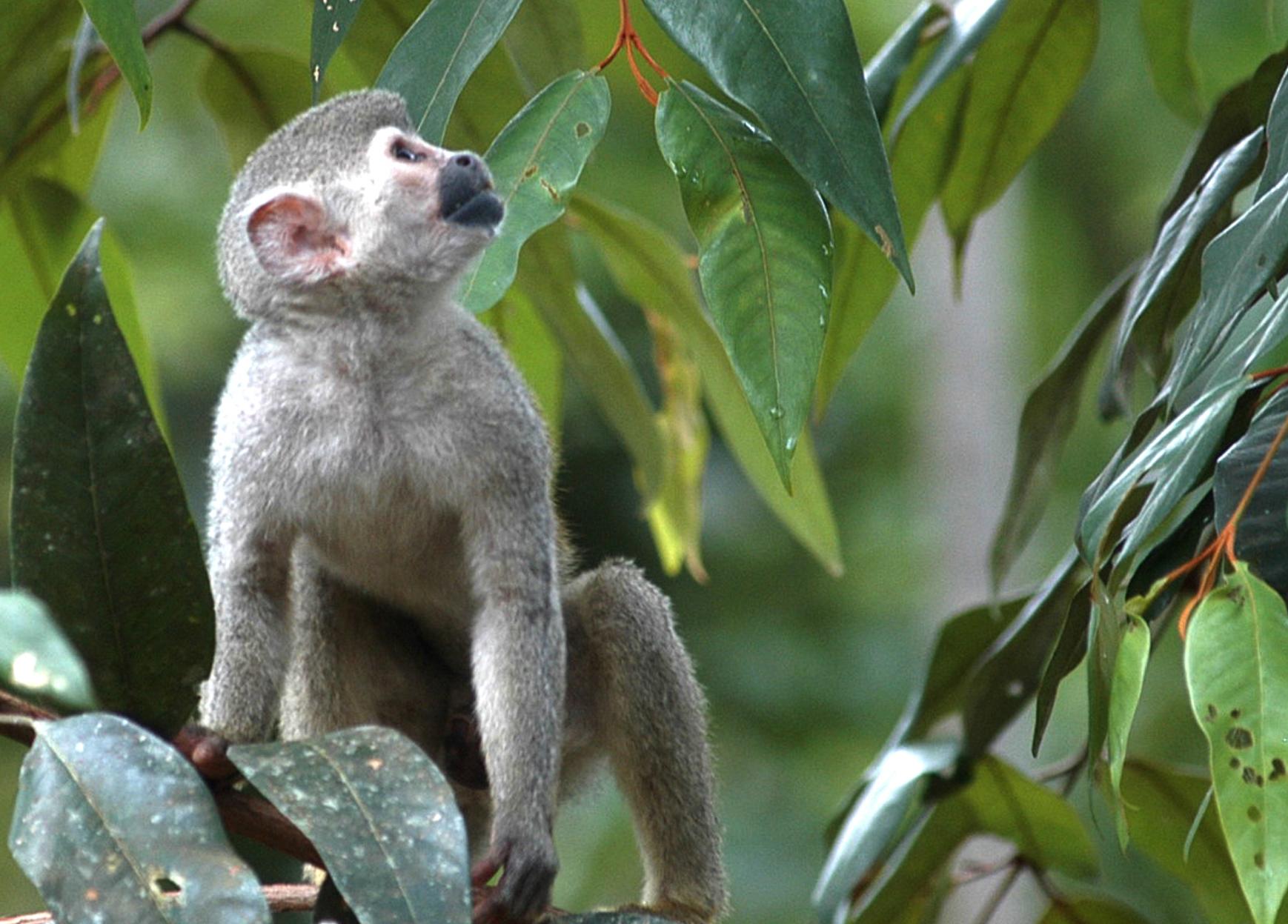 amazonas-mono-gris-2