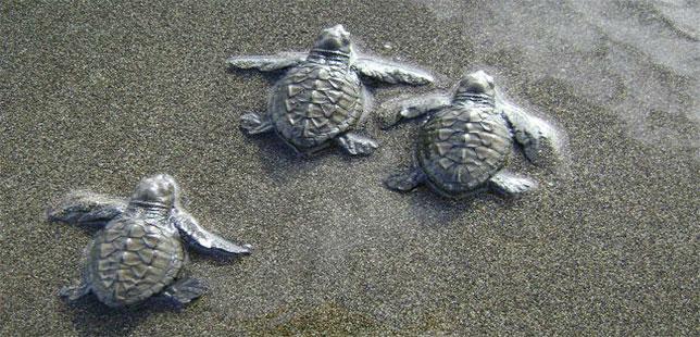 En 2016, Medio Centenar De Personas Apoyaron Reproducción De Tortugas Marinas Con Fundación Natura