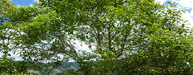 Hallan árbol Palo Blanco En Fincas Del Oriente De Cundinamarca, Una Especie Que Favorece La Conectividad Del Paisaje